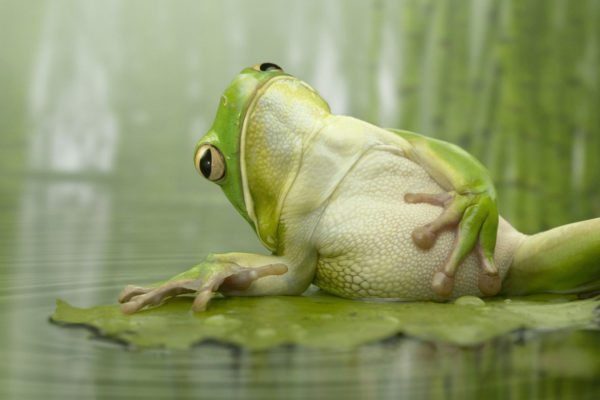 Jeffrey-Vanhoutte-The-Frog-on-the-Leaf-600x400
